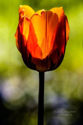 Tulip 18_in portrai