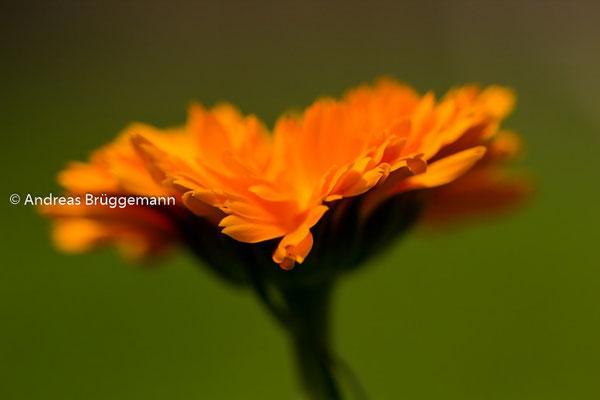 Lars flower