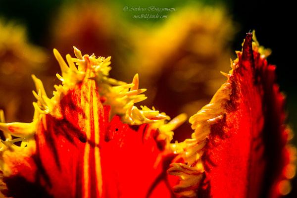 Tulip 18_3