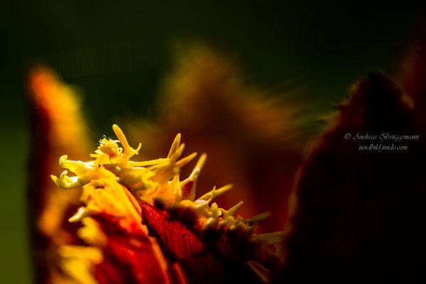 Tulip 18_1