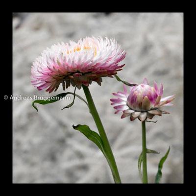 Theas flower_05