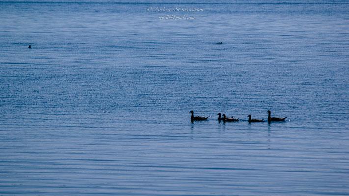 Enten im Fjord