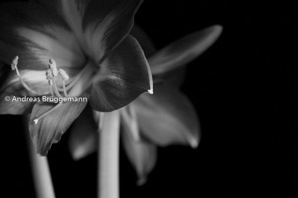 Blume in Schwarz weiß
