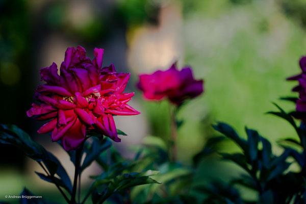 rose_10