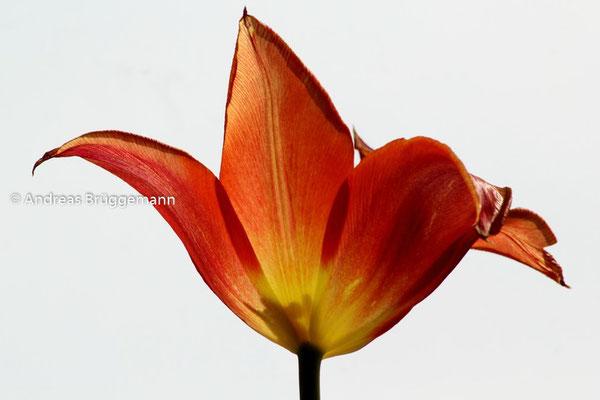 tulip_03
