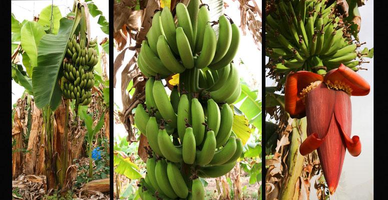 auf einer der vielen Bananenplantagen