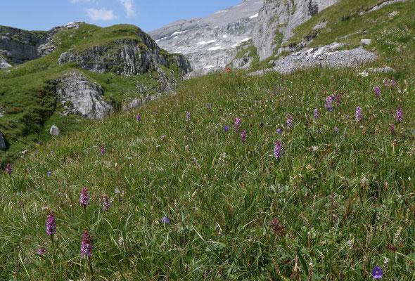 Braunwald GL, 24.7.2019 (Bergwiese auf 2100 m Höhe mit Orchideen und vielen Edelweiss)