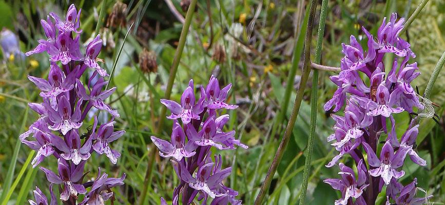 Lumbrein GR, 22.7.2020 (schmetterlingsähnliche Blüten)