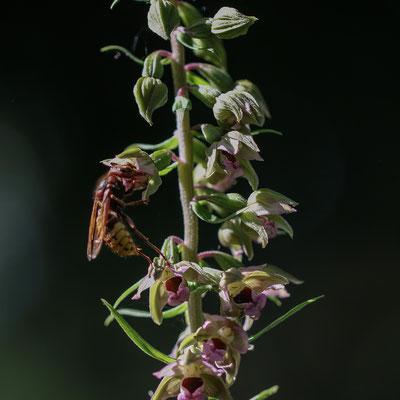 Rümlang ZH, 19.7.2019 (Eine grosse Wespe labt sich am dargebotenen Nektar. Wespen sind häufige Besucher von Epipactis Blüten)