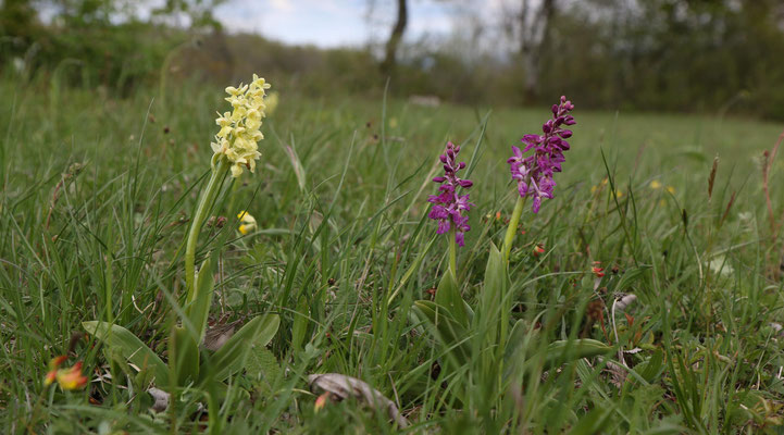 Hemmental SH, 5.5.2019 (links Orchis pallens, rechts die Hybride Orchis mascula x pallens