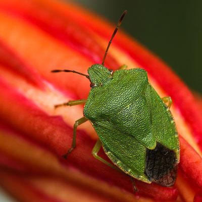 Die grüne Blattwanze (Palomena prasina) auf der roten Kakteenknospe braucht keine Tarnung, sie sondert bei Gefahr ein stinkendes Sekret ab.
