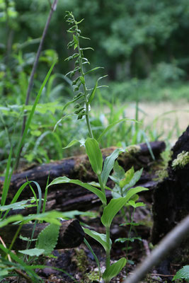 Epipactis leptochila subsp. neglecta