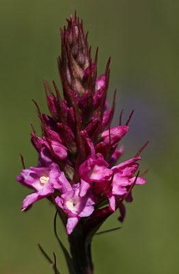Ramosch GR, 23.6.2020 (Gymnadenia-Hybride)