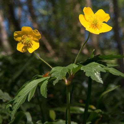 ... und sein seltener Verwandter, das gelbe Buschwindröschen