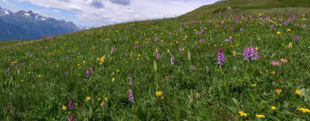Einmalig schöne Bergwiese auf 2200 m mit unzähligen, verschiedenen Orchideen