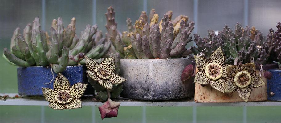 Orbea variegata,