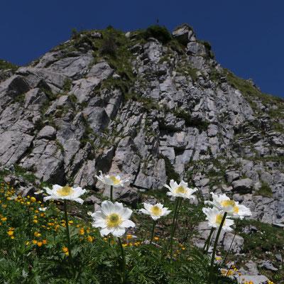 """... die Alpen-Küchenschelle oder Alpen-Anemone """"Pulsatilla alpina"""" (nur eine Blüte am Stängel)"""