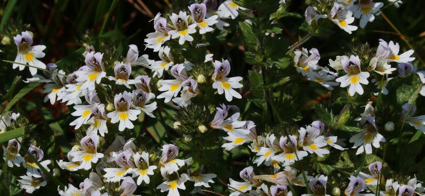 Augentrost (Euphrasia officinalis)