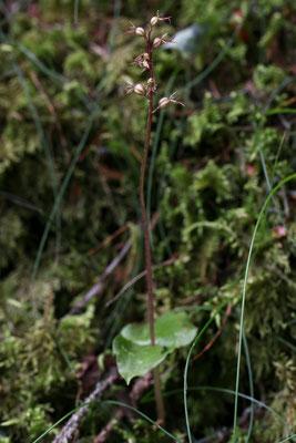 """nach mehr als 20 Jahren habe ich wieder das seltene kleine Zweiblatt """"Listera cordata"""", eine unscheinbare sehr kleine Orchidee, entseckt."""