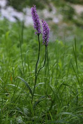 Winterthur Tössufer ZH, 21.6.2019, eine Pflanze hat zwei Blütentriebe hervorgebracht, das habe ich bisher noch nie gesehen