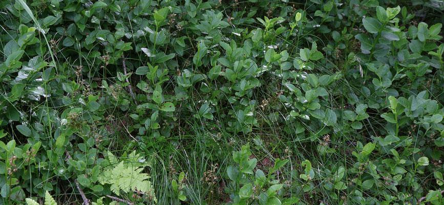 """Braunwald """"Chnügrat"""" GL, 22.7.2019 (Ein Übersichtsbild um zu zeigen wie klein diese Pflänzchen sind)"""