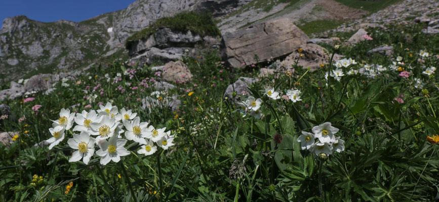 """Beim Aufstieg zum Bützi blüht das Narzissenblütige Windröschen """"Anemone narcissiflora"""" (mehrere Blüten am Stängel) und gleich auch ..."""