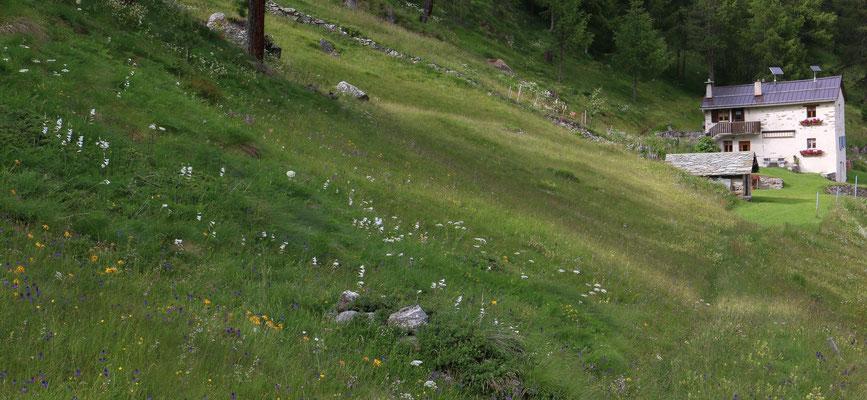 Val da Camp 5.7.2016, mässig feuchte Wiese mit Paradieslilien und einigen Hybriden G. conopsea x N. rhellicani