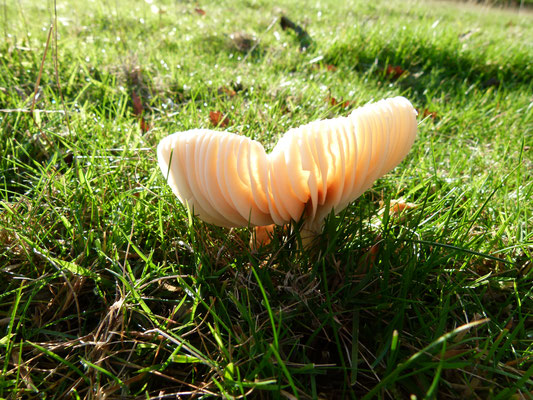 Meadow Waxcap Hygrocybe pratensis