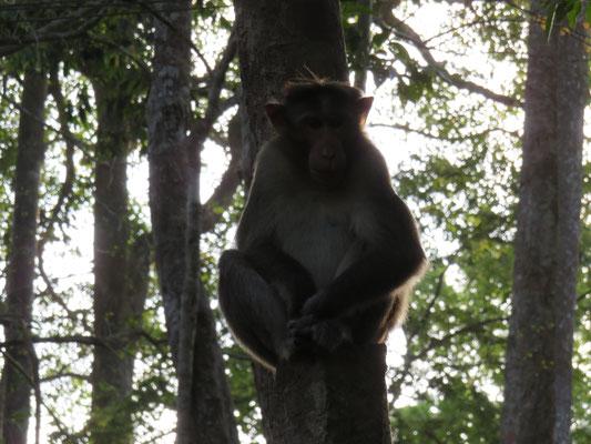 Meditierender Affe