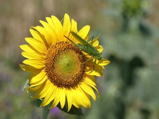 Großes Heupferd auf Sonnenblume. Aufnahme: K.Kilchling-Hink