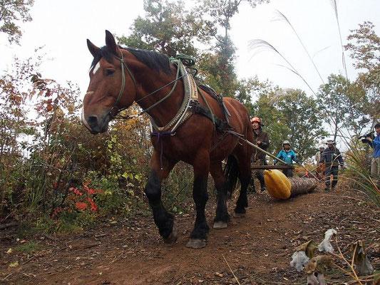 さあ、馬搬に戻りましょう。柳沢林業の馬飼さん…じゃなくて犬飼さんの「GO,ヤマト、GO!」の声で、ヤマト出発!