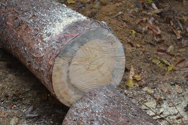 年輪を数えると、80歳!年輪の詰まりぐあいで、この木が生きてきたプロセスが分かります。「周りが込みあってきて生育が悪くなっていたけど、周囲が間伐されるなどして、再び成長できるようになった」「老齢になってきて生育が悪くなっていた」など、少ない手がかりで難事件を解決する探偵のようです。 こういった木の特性を把握しながら、無駄のない形で活用できるよう、長さを決めて玉切りにしていきます。  アカマツが弱ると、はじめに青変菌が侵入し材に青模様が入ります。枯れてしまうと、腐朽菌という材を腐らせる菌が入り、次第に朽ちて