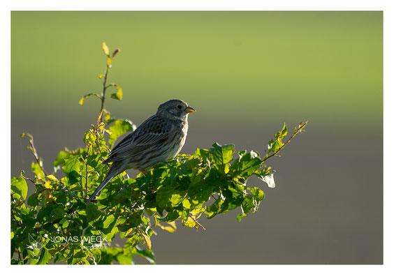Grauammer  |  Emberiza calandra  |  © JONAS WIECK FOTOGRAFIE  |  Deutschland  |  Naturfotografie  |  Landschaftsfotografie