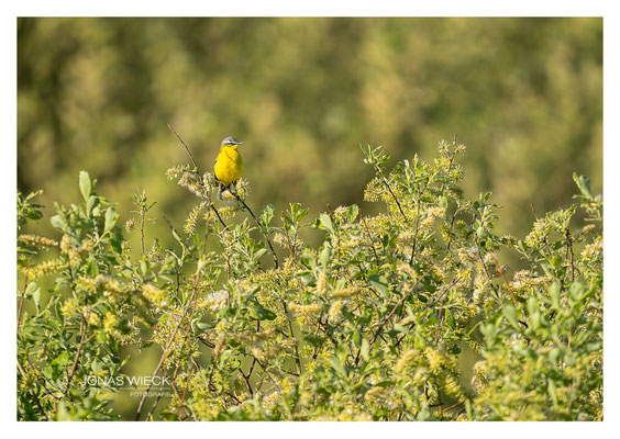 Schafstelze  |  Motacilla flava  |  © JONAS WIECK FOTOGRAFIE  |  Deutschland  |  Naturfotografie  |  Landschaftsfotografie