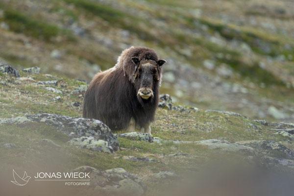 Moschusochse  |  Ovibos moschatus  |  © JONAS WIECK