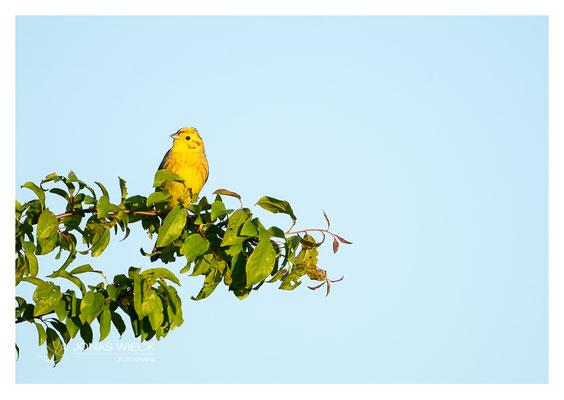 Goldammer  |  Emberiza citrinella  |  © JONAS WIECK FOTOGRAFIE  |  Deutschland  |  Naturfotografie  |  Landschaftsfotografie