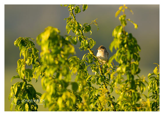 Dorngrasmücke  |  Sylvia communis  |  © JONAS WIECK FOTOGRAFIE  |  Deutschland  |  Naturfotografie  |  Landschaftsfotografie