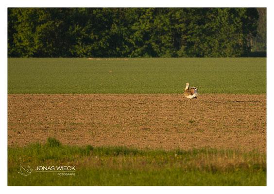 Großtrappe  |  Otis tarda  |  © JONAS WIECK FOTOGRAFIE  |  Deutschland  |  Naturfotografie  |  Landschaftsfotografie