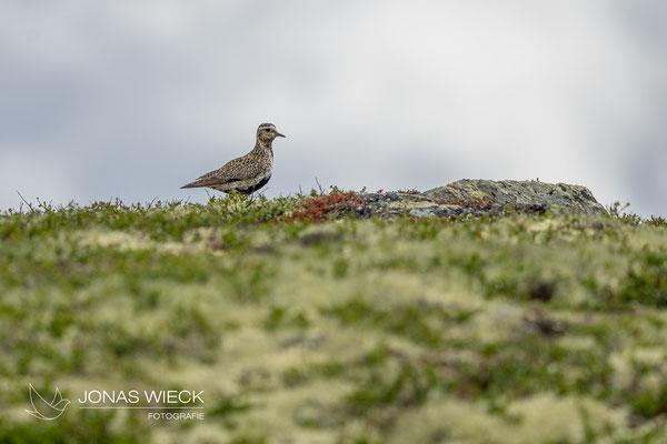 Goldregenpfeifer  |  Pluvialis apricaria  |  © JONAS WIECK