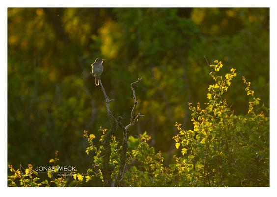 Nachtigall  |  Luscinia megarhynchos  |  © JONAS WIECK FOTOGRAFIE  |  Deutschland  |  Naturfotografie  |  Landschaftsfotografie
