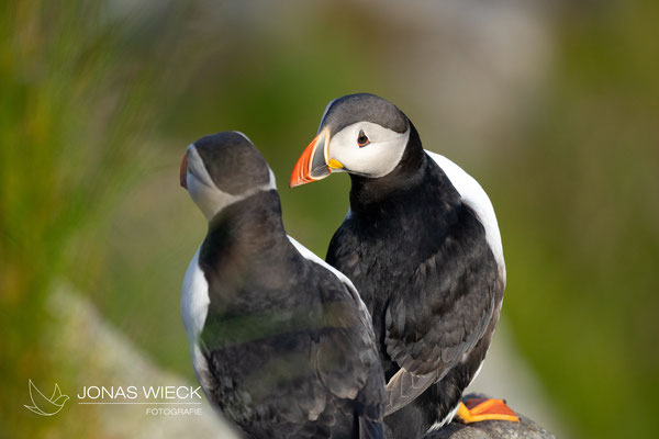 Papageientaucher  |  Fratercula arctica  |  © JONAS WIECK