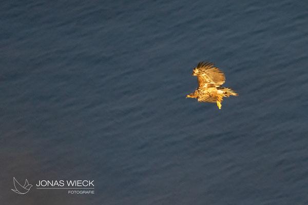 Seeadler  |  Haliaeetus albicilla  |  © JONAS WIECK
