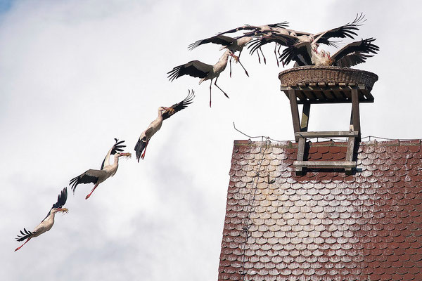 Storchenanflug ( Bildmontage)