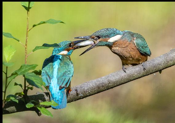 Altvogel füttert