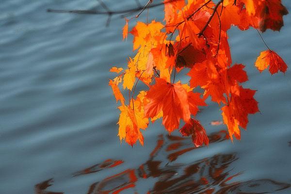 Ahornblätter am Heindlweiher