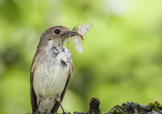 Trauerfliegenschnäpper