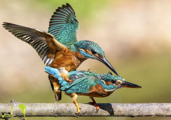Eisvogelpaarung
