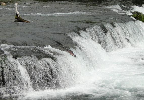 im Juli würden hier Tausende von Lachsen springen