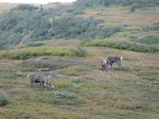 Caribous (in Europa Rentier-ähnlich)