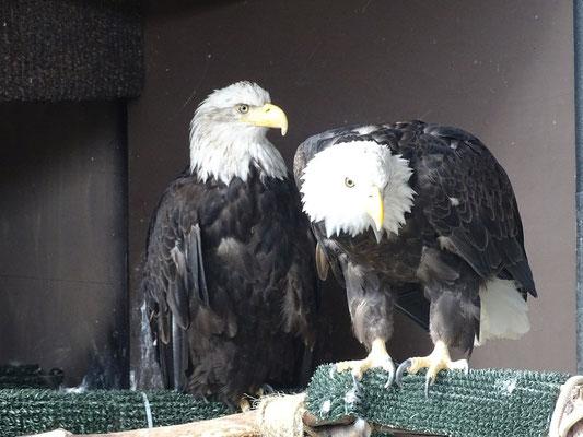 die Weisskopfseeadler in der American Bald Eagle Foundation